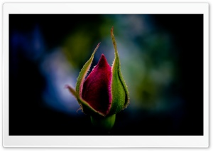 Rose Bud HD Wide Wallpaper for Widescreen