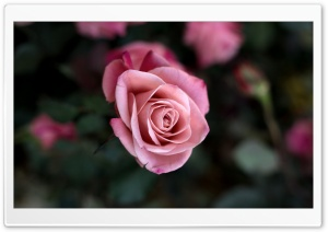 Rose Bush HD Wide Wallpaper for Widescreen