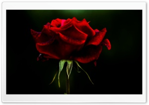 Rose Flower HD Wide Wallpaper for Widescreen