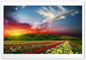 Rose Flower Field Background HD HD Wide Wallpaper for Widescreen