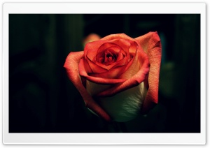 Rose Flower Flowers HD Wide Wallpaper for Widescreen