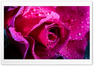 Rose Flower, Magenta Color, Water Drops HD Wide Wallpaper for 4K UHD Widescreen desktop & smartphone