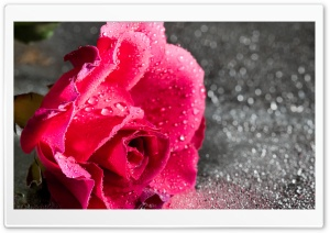 Rose Flower, Water Drops, Bokeh, Macro HD Wide Wallpaper for 4K UHD Widescreen desktop & smartphone