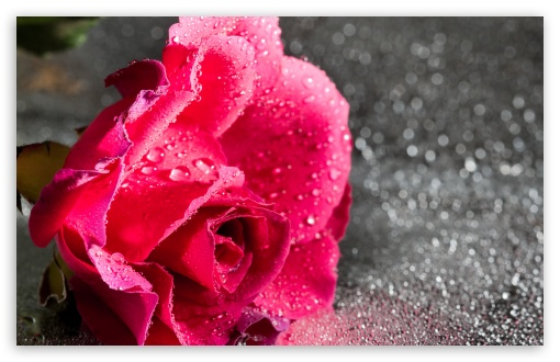 Rose Flower, Water Drops, Bokeh, Macro ❤ 4K UHD Wallpaper for Wide 16:10 5:3 Widescreen WHXGA WQXGA WUXGA WXGA WGA ; UltraWide 21:9 24:10 ; 4K UHD 16:9 Ultra High Definition 2160p 1440p 1080p 900p 720p ; UHD 16:9 2160p 1440p 1080p 900p 720p ; Standard 4:3 5:4 3:2 Fullscreen UXGA XGA SVGA QSXGA SXGA DVGA HVGA HQVGA ( Apple PowerBook G4 iPhone 4 3G 3GS iPod Touch ) ; Smartphone 16:9 3:2 5:3 2160p 1440p 1080p 900p 720p DVGA HVGA HQVGA ( Apple PowerBook G4 iPhone 4 3G 3GS iPod Touch ) WGA ; Tablet 1:1 ; iPad 1/2/Mini ; Mobile 4:3 5:3 3:2 16:9 5:4 - UXGA XGA SVGA WGA DVGA HVGA HQVGA ( Apple PowerBook G4 iPhone 4 3G 3GS iPod Touch ) 2160p 1440p 1080p 900p 720p QSXGA SXGA ; Dual 16:10 5:3 16:9 4:3 5:4 3:2 WHXGA WQXGA WUXGA WXGA WGA 2160p 1440p 1080p 900p 720p UXGA XGA SVGA QSXGA SXGA DVGA HVGA HQVGA ( Apple PowerBook G4 iPhone 4 3G 3GS iPod Touch ) ;