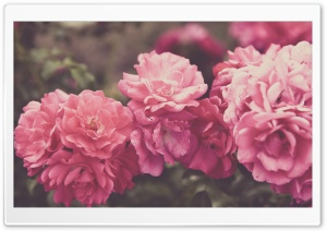 Rose Garden, Vintage HD Wide Wallpaper for Widescreen