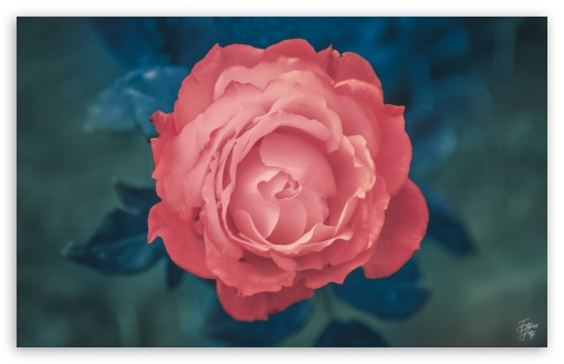 rose gone pink........ UltraHD Wallpaper for Wide 16:10 5:3 Widescreen WHXGA WQXGA WUXGA WXGA WGA ; Tablet 1:1 ; Mobile 5:3 - WGA ;