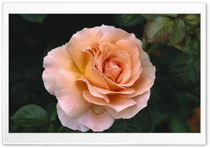 Rose Hybrid Tea Rose