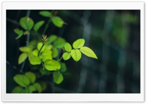 Rose Leaves HD Wide Wallpaper for Widescreen