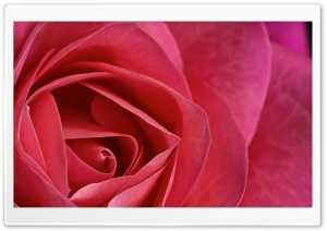 Rose Macro HD Wide Wallpaper for Widescreen