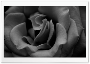 Rose Monochrome HD Wide Wallpaper for Widescreen