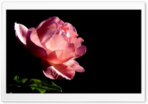Rose On Black Background HD Wide Wallpaper for Widescreen