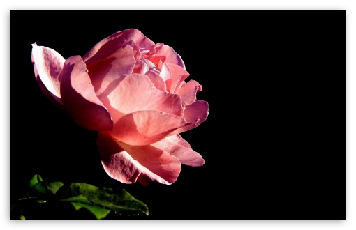 Rose On Black Background ❤ 4K UHD Wallpaper for Wide 16:10 5:3 Widescreen WHXGA WQXGA WUXGA WXGA WGA ; 4K UHD 16:9 Ultra High Definition 2160p 1440p 1080p 900p 720p ; Standard 4:3 5:4 3:2 Fullscreen UXGA XGA SVGA QSXGA SXGA DVGA HVGA HQVGA ( Apple PowerBook G4 iPhone 4 3G 3GS iPod Touch ) ; Tablet 1:1 ; iPad 1/2/Mini ; Mobile 4:3 5:3 3:2 16:9 5:4 - UXGA XGA SVGA WGA DVGA HVGA HQVGA ( Apple PowerBook G4 iPhone 4 3G 3GS iPod Touch ) 2160p 1440p 1080p 900p 720p QSXGA SXGA ;