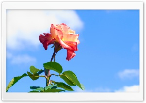 Rose On Blue Sky Background HD Wide Wallpaper for 4K UHD Widescreen desktop & smartphone