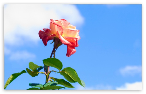 Rose On Blue Sky Background HD wallpaper for Wide 16:10 5:3 Widescreen WHXGA WQXGA WUXGA WXGA WGA ; HD 16:9 High Definition WQHD QWXGA 1080p 900p 720p QHD nHD ; Standard 4:3 5:4 3:2 Fullscreen UXGA XGA SVGA QSXGA SXGA DVGA HVGA HQVGA devices ( Apple PowerBook G4 iPhone 4 3G 3GS iPod Touch ) ; Tablet 1:1 ; iPad 1/2/Mini ; Mobile 4:3 5:3 3:2 16:9 5:4 - UXGA XGA SVGA WGA DVGA HVGA HQVGA devices ( Apple PowerBook G4 iPhone 4 3G 3GS iPod Touch ) WQHD QWXGA 1080p 900p 720p QHD nHD QSXGA SXGA ;