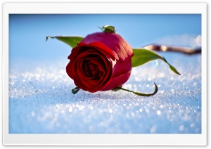 Rose On The Snow HD Wide Wallpaper for Widescreen