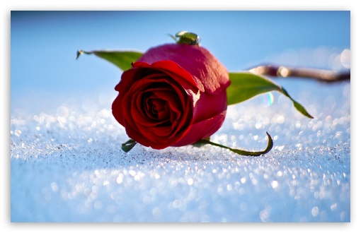 Rose On The Snow HD wallpaper for Wide 16:10 5:3 Widescreen WHXGA WQXGA WUXGA WXGA WGA ; HD 16:9 High Definition WQHD QWXGA 1080p 900p 720p QHD nHD ; Standard 4:3 5:4 3:2 Fullscreen UXGA XGA SVGA QSXGA SXGA DVGA HVGA HQVGA devices ( Apple PowerBook G4 iPhone 4 3G 3GS iPod Touch ) ; iPad 1/2/Mini ; Mobile 4:3 5:3 3:2 16:9 5:4 - UXGA XGA SVGA WGA DVGA HVGA HQVGA devices ( Apple PowerBook G4 iPhone 4 3G 3GS iPod Touch ) WQHD QWXGA 1080p 900p 720p QHD nHD QSXGA SXGA ;