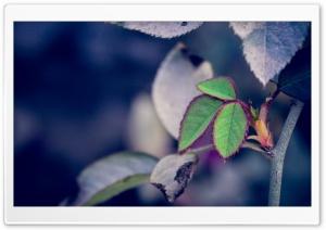 Rose Petals HD Wide Wallpaper for Widescreen