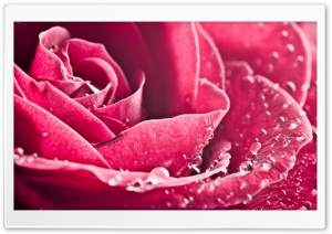 Rose Petals Macro HD Wide Wallpaper for Widescreen