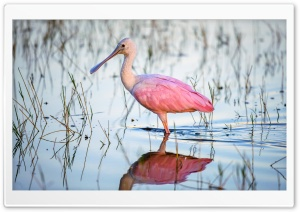 Roseate Spoonbill Platalea ajaja Pink Water Bird Ultra HD Wallpaper for 4K UHD Widescreen desktop, tablet & smartphone