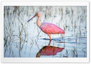 Roseate Spoonbill Platalea ajaja Pink Water Bird Ultra HD Wallpaper for 4K UHD Widescreen desktop, tablet & smartphone