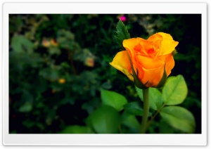 Rosebud HD Wide Wallpaper for Widescreen