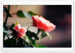 Roses HD Wide Wallpaper for Widescreen