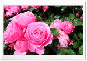 Roses are PINK HD Wide Wallpaper for Widescreen