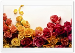 Roses Background HD Wide Wallpaper for Widescreen