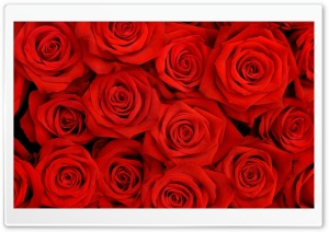Roses Batch HD Wide Wallpaper for Widescreen