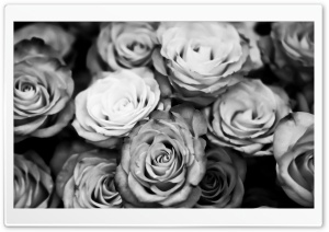 Roses Black And White HD Wide Wallpaper for Widescreen