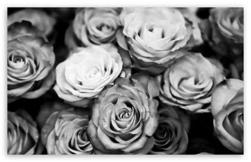 Roses Black And White HD wallpaper for Wide 16:10 5:3 Widescreen WHXGA WQXGA WUXGA WXGA WGA ; HD 16:9 High Definition WQHD QWXGA 1080p 900p 720p QHD nHD ; Standard 4:3 5:4 3:2 Fullscreen UXGA XGA SVGA QSXGA SXGA DVGA HVGA HQVGA devices ( Apple PowerBook G4 iPhone 4 3G 3GS iPod Touch ) ; Tablet 1:1 ; iPad 1/2/Mini ; Mobile 4:3 5:3 3:2 16:9 5:4 - UXGA XGA SVGA WGA DVGA HVGA HQVGA devices ( Apple PowerBook G4 iPhone 4 3G 3GS iPod Touch ) WQHD QWXGA 1080p 900p 720p QHD nHD QSXGA SXGA ;