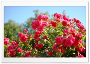 Roses Bush HD Wide Wallpaper for Widescreen