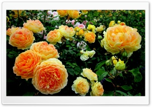 Roses Garden HD Wide Wallpaper for Widescreen