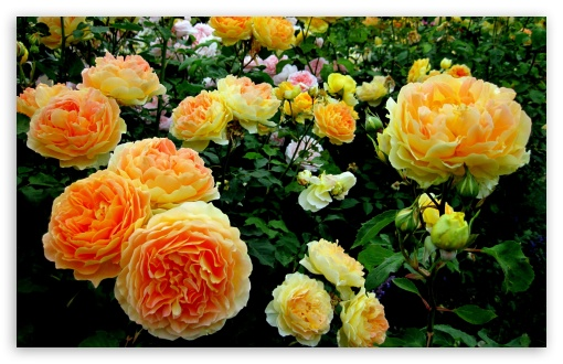 Roses Garden HD wallpaper for Wide 16:10 5:3 Widescreen WHXGA WQXGA WUXGA WXGA WGA ; HD 16:9 High Definition WQHD QWXGA 1080p 900p 720p QHD nHD ; Standard 4:3 5:4 3:2 Fullscreen UXGA XGA SVGA QSXGA SXGA DVGA HVGA HQVGA devices ( Apple PowerBook G4 iPhone 4 3G 3GS iPod Touch ) ; Smartphone 5:3 WGA ; Tablet 1:1 ; iPad 1/2/Mini ; Mobile 4:3 5:3 3:2 16:9 5:4 - UXGA XGA SVGA WGA DVGA HVGA HQVGA devices ( Apple PowerBook G4 iPhone 4 3G 3GS iPod Touch ) WQHD QWXGA 1080p 900p 720p QHD nHD QSXGA SXGA ;