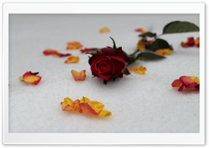 Roses In Snow HD Wide Wallpaper for Widescreen
