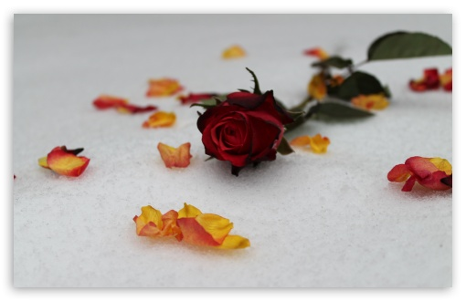 Roses In Snow ❤ 4K UHD Wallpaper for Wide 16:10 5:3 Widescreen WHXGA WQXGA WUXGA WXGA WGA ; 4K UHD 16:9 Ultra High Definition 2160p 1440p 1080p 900p 720p ; UHD 16:9 2160p 1440p 1080p 900p 720p ; Standard 4:3 5:4 3:2 Fullscreen UXGA XGA SVGA QSXGA SXGA DVGA HVGA HQVGA ( Apple PowerBook G4 iPhone 4 3G 3GS iPod Touch ) ; Tablet 1:1 ; iPad 1/2/Mini ; Mobile 4:3 5:3 3:2 16:9 5:4 - UXGA XGA SVGA WGA DVGA HVGA HQVGA ( Apple PowerBook G4 iPhone 4 3G 3GS iPod Touch ) 2160p 1440p 1080p 900p 720p QSXGA SXGA ; Dual 16:10 5:3 16:9 4:3 5:4 WHXGA WQXGA WUXGA WXGA WGA 2160p 1440p 1080p 900p 720p UXGA XGA SVGA QSXGA SXGA ;