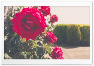 Roses in Summer HD Wide Wallpaper for Widescreen
