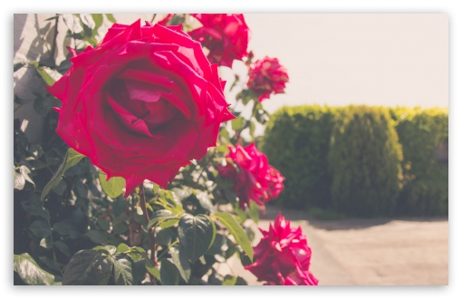 Roses in Summer ❤ 4K UHD Wallpaper for Wide 16:10 5:3 Widescreen WHXGA WQXGA WUXGA WXGA WGA ; 4K UHD 16:9 Ultra High Definition 2160p 1440p 1080p 900p 720p ; UHD 16:9 2160p 1440p 1080p 900p 720p ; Standard 4:3 5:4 3:2 Fullscreen UXGA XGA SVGA QSXGA SXGA DVGA HVGA HQVGA ( Apple PowerBook G4 iPhone 4 3G 3GS iPod Touch ) ; Smartphone 5:3 WGA ; Tablet 1:1 ; iPad 1/2/Mini ; Mobile 4:3 5:3 3:2 16:9 5:4 - UXGA XGA SVGA WGA DVGA HVGA HQVGA ( Apple PowerBook G4 iPhone 4 3G 3GS iPod Touch ) 2160p 1440p 1080p 900p 720p QSXGA SXGA ;