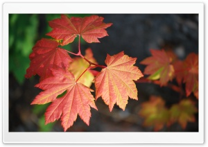 Rosy Leaves Ultra HD Wallpaper for 4K UHD Widescreen desktop, tablet & smartphone