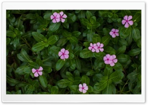 Rosy Periwinkle HD Wide Wallpaper for Widescreen