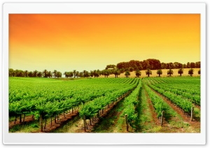 Rows Of Young Grape Vines HD Wide Wallpaper for Widescreen