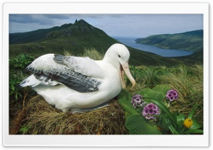 Royal Albatross Campbell Island New Zealand HD Wide Wallpaper for Widescreen