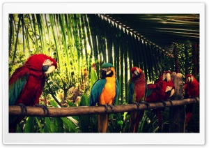 Royal Parrot HD Wide Wallpaper for Widescreen