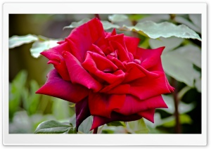 Royal William Rose HD Wide Wallpaper for Widescreen