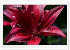 Ruby Red Lily Ultra HD Wallpaper for 4K UHD Widescreen desktop, tablet & smartphone