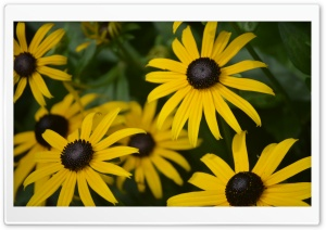 Rudbeckia Hirta HD Wide Wallpaper for Widescreen