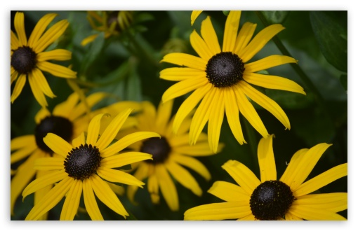 Rudbeckia Hirta ❤ 4K UHD Wallpaper for Wide 16:10 5:3 Widescreen WHXGA WQXGA WUXGA WXGA WGA ; 4K UHD 16:9 Ultra High Definition 2160p 1440p 1080p 900p 720p ; UHD 16:9 2160p 1440p 1080p 900p 720p ; Standard 4:3 5:4 3:2 Fullscreen UXGA XGA SVGA QSXGA SXGA DVGA HVGA HQVGA ( Apple PowerBook G4 iPhone 4 3G 3GS iPod Touch ) ; Tablet 1:1 ; iPad 1/2/Mini ; Mobile 4:3 5:3 3:2 16:9 5:4 - UXGA XGA SVGA WGA DVGA HVGA HQVGA ( Apple PowerBook G4 iPhone 4 3G 3GS iPod Touch ) 2160p 1440p 1080p 900p 720p QSXGA SXGA ;