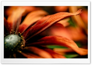 Rudbeckia Macro HD Wide Wallpaper for Widescreen