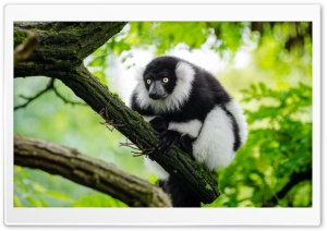Ruffed Lemur HD Wide Wallpaper for Widescreen