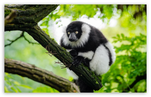Ruffed Lemur ❤ 4K UHD Wallpaper for Wide 16:10 5:3 Widescreen WHXGA WQXGA WUXGA WXGA WGA ; UltraWide 21:9 24:10 ; 4K UHD 16:9 Ultra High Definition 2160p 1440p 1080p 900p 720p ; UHD 16:9 2160p 1440p 1080p 900p 720p ; Standard 4:3 5:4 3:2 Fullscreen UXGA XGA SVGA QSXGA SXGA DVGA HVGA HQVGA ( Apple PowerBook G4 iPhone 4 3G 3GS iPod Touch ) ; Smartphone 3:2 5:3 DVGA HVGA HQVGA ( Apple PowerBook G4 iPhone 4 3G 3GS iPod Touch ) WGA ; Tablet 1:1 ; iPad 1/2/Mini ; Mobile 4:3 5:3 3:2 16:9 5:4 - UXGA XGA SVGA WGA DVGA HVGA HQVGA ( Apple PowerBook G4 iPhone 4 3G 3GS iPod Touch ) 2160p 1440p 1080p 900p 720p QSXGA SXGA ; Dual 4:3 5:4 UXGA XGA SVGA QSXGA SXGA ;